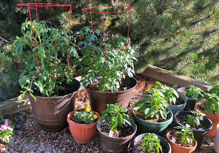 potted tomato and pepper plants